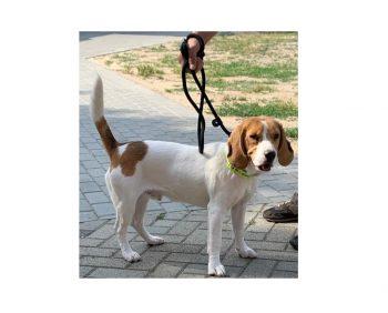 Buddy der typische Beagle